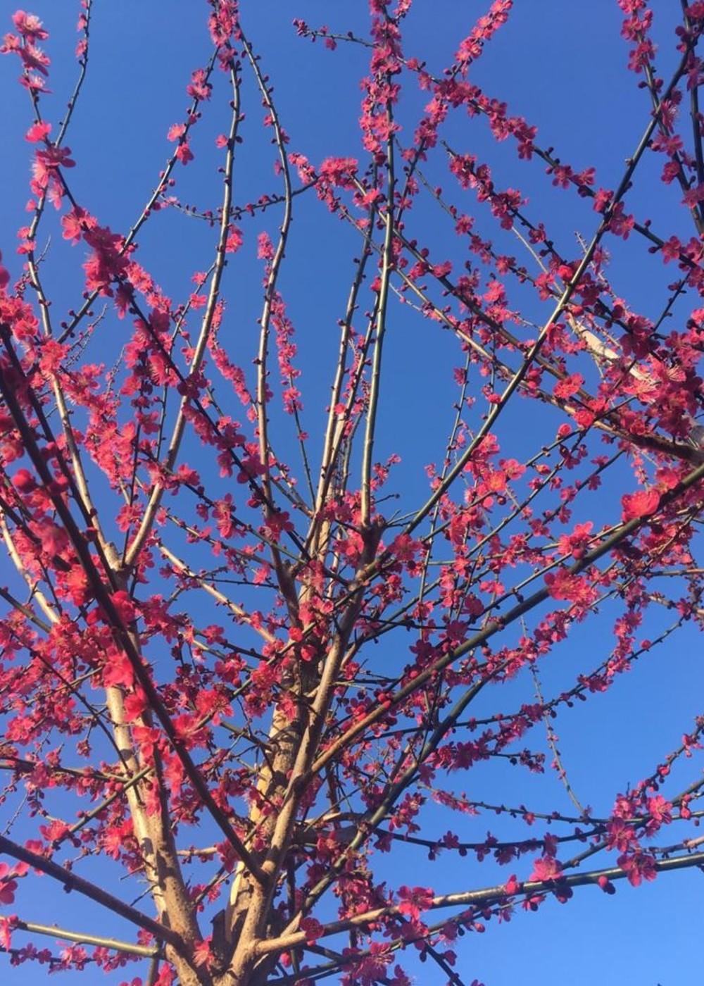Japanische Zieraprikose | Prunus mume 'Beni-chi-dori'