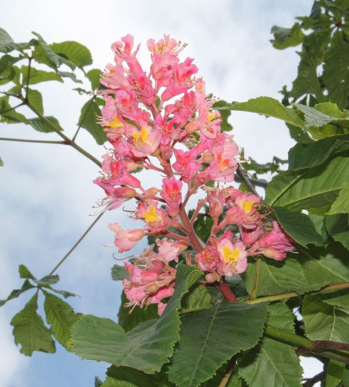 Rotblühende Edelkastanie Briotii | Aesculus carnea 'Briotii'