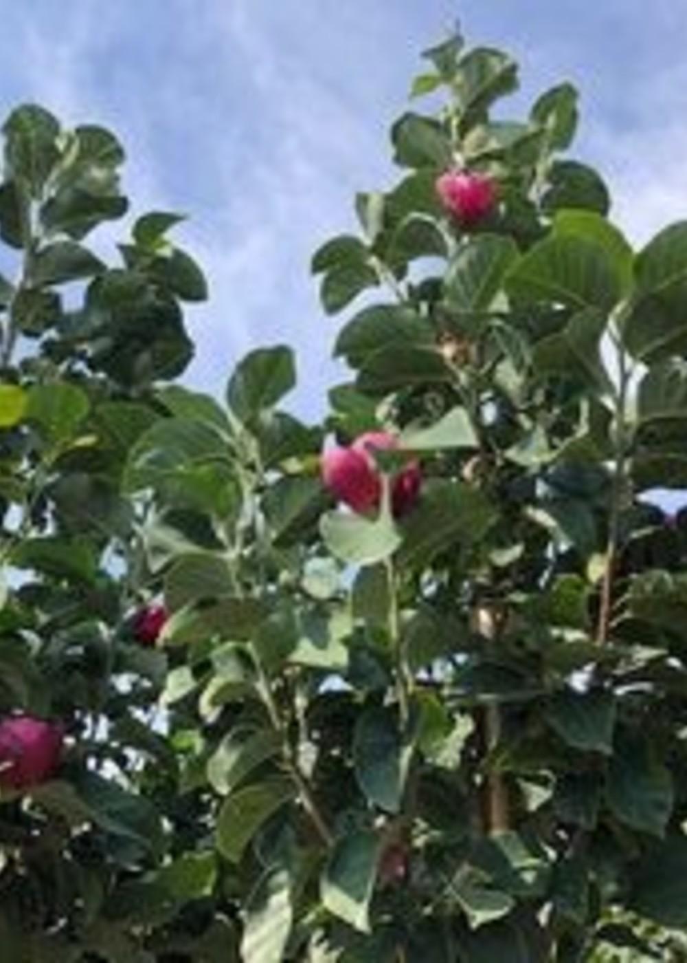 Magnolie Black Tulip | Magnolia 'Black Tulip'