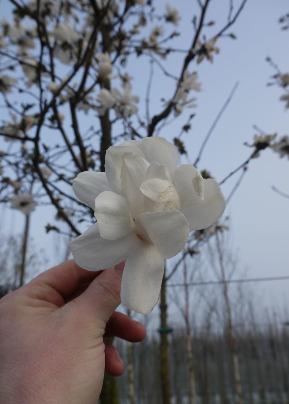 Magnolie Merrill | Magnolia loebneri 'Merrill'