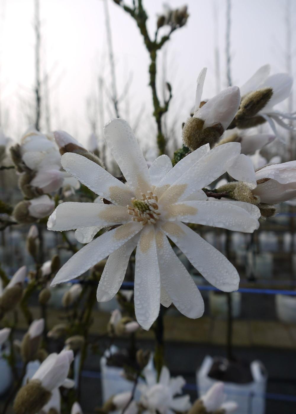 Stern-Magnolie | Magnolia stellata