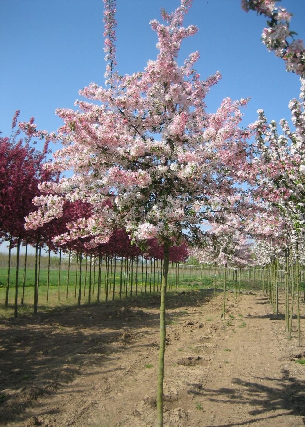 Zierapfel floribunda | Malus floribunda