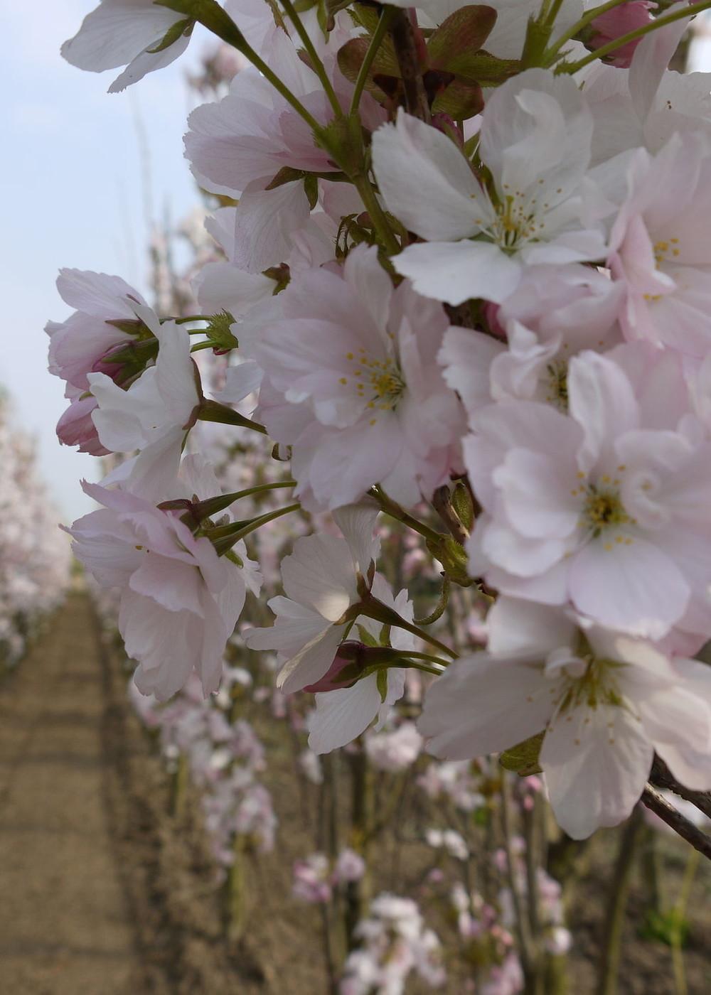 Japanische Säulenkirsche Amanogawa | Prunus serr. 'Amanogawa'