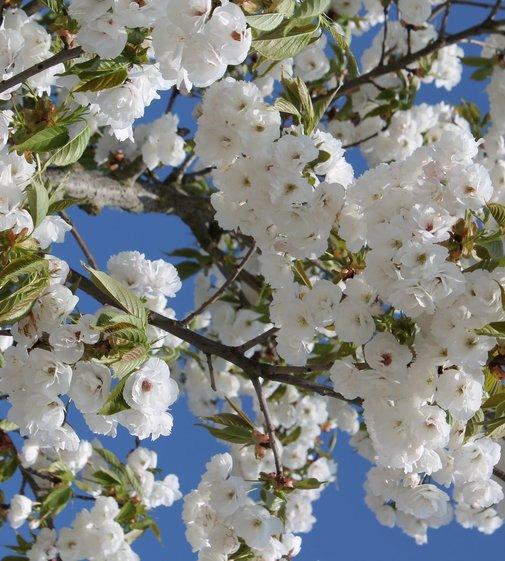 Fudschijama-Kirsche Shirotae | Prunus serrulata 'Shirotae'