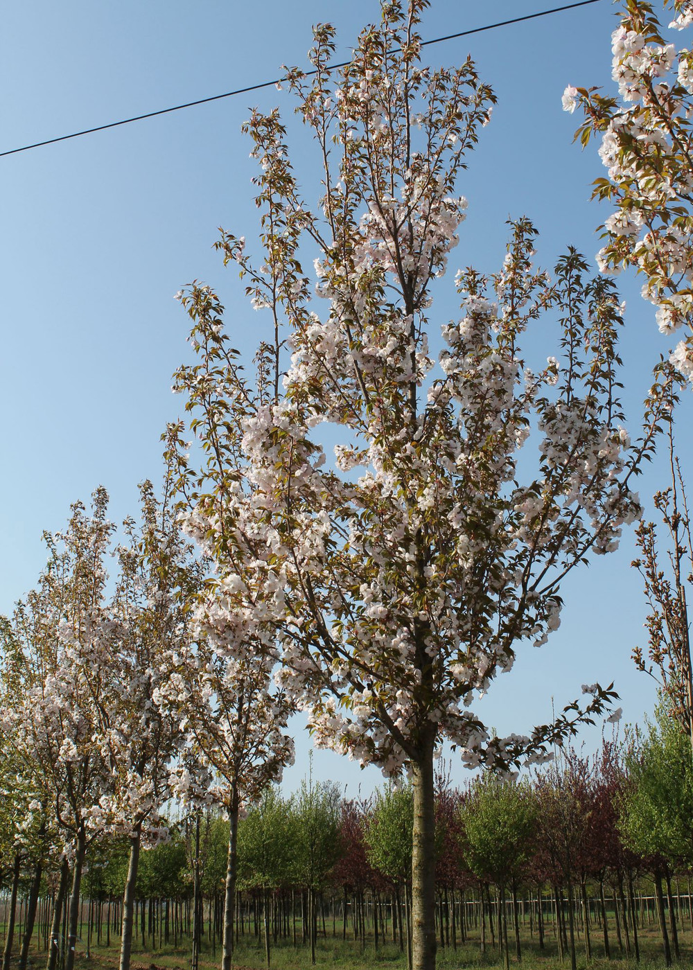Zierkirsche Sunset Boulevard | Prunus serrulata 'Sunset Boulevard'
