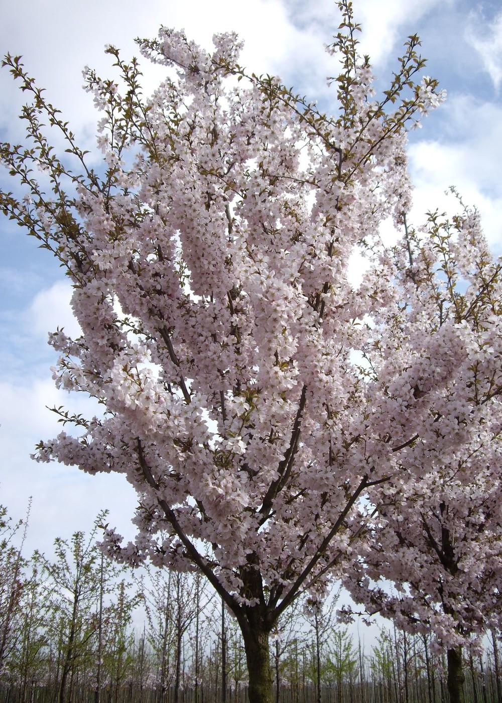 Frühlingskirsche Pandora   Prunus 'Pandora'