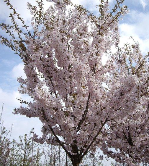 Frühlingskirsche Pandora | Prunus 'Pandora'