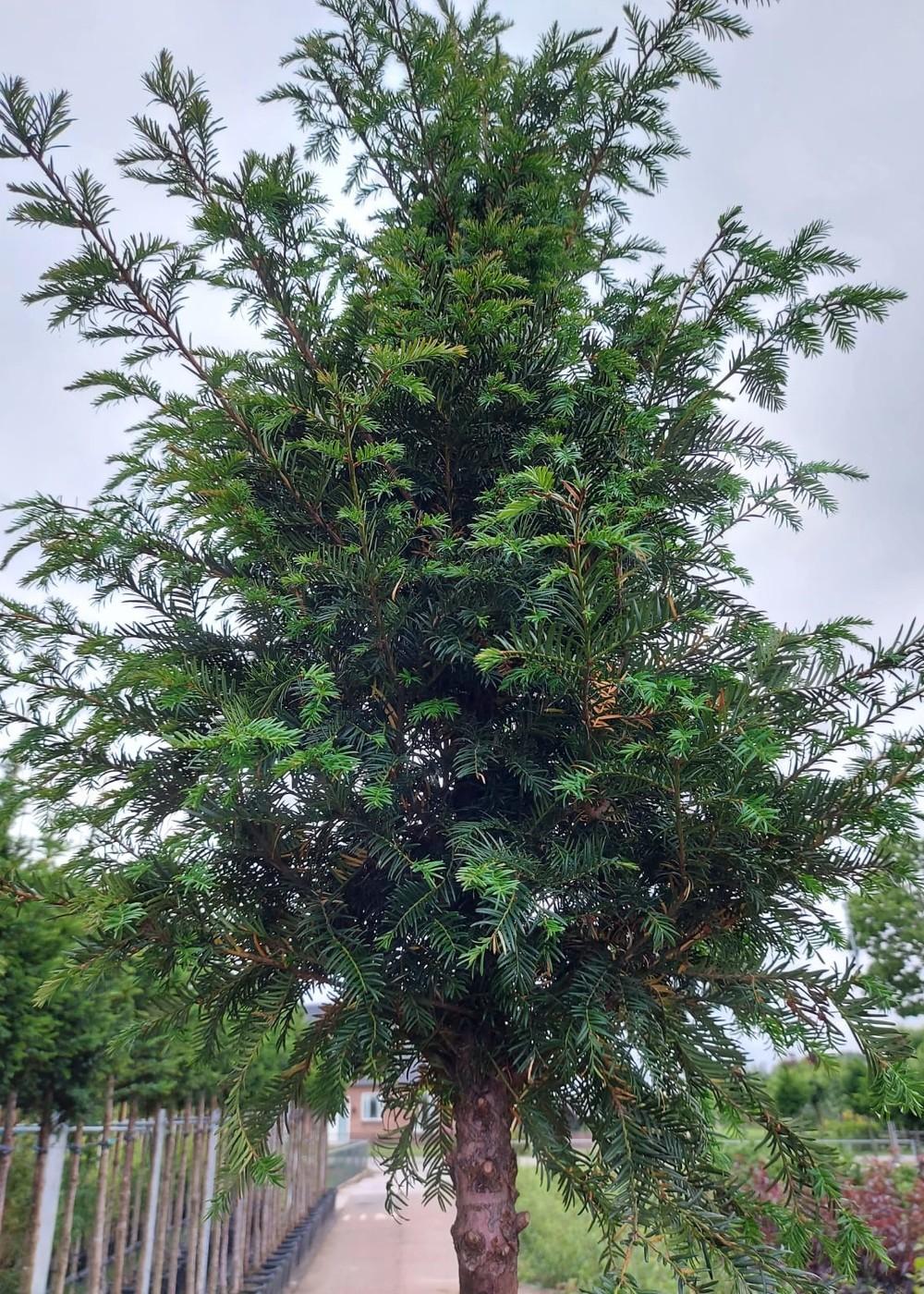 Gemeine Eibe | Taxus baccata