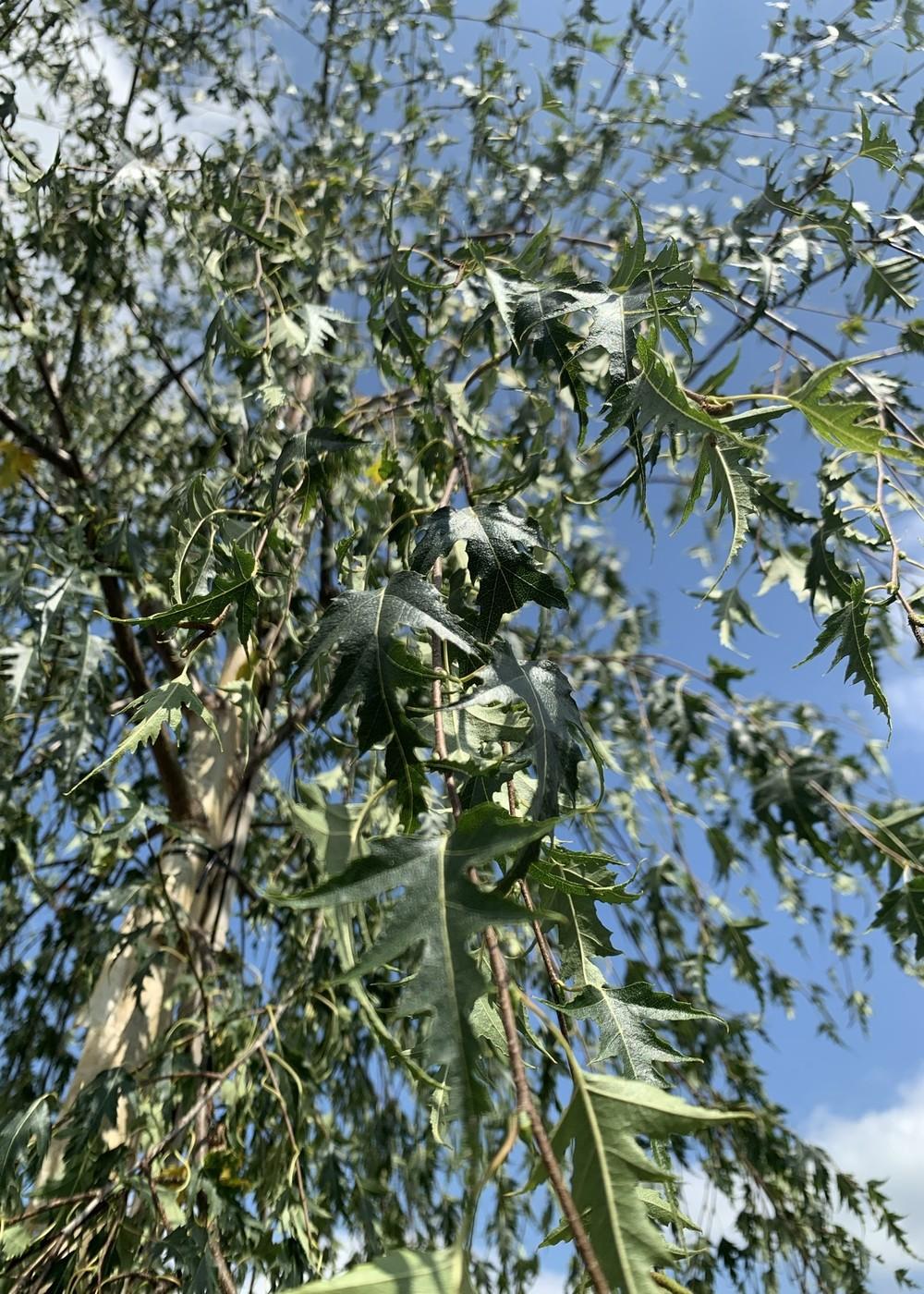 Schlitzblättrige Sandbirke | Betula pendula 'Laciniata'