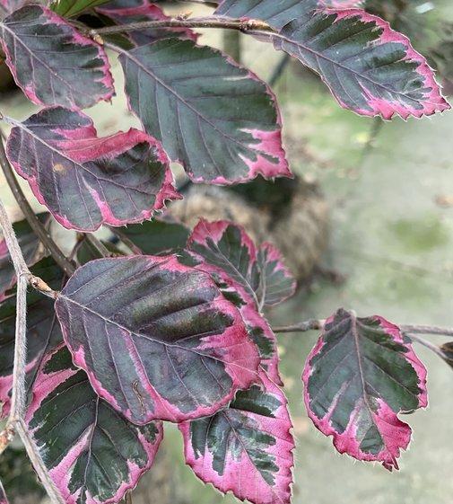 Rotbuche Tricolor   Fagus sylvatica 'Tricolor'