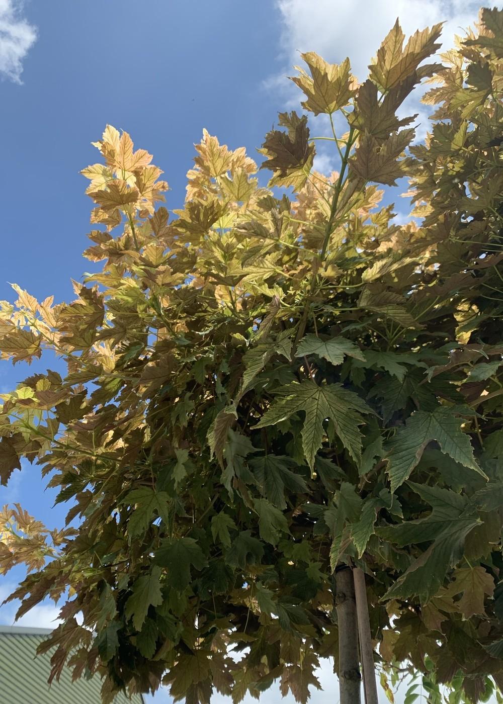 Bergahorn Prinz Handjery | Acer pseudoplatanus  'Prinz Handjery'