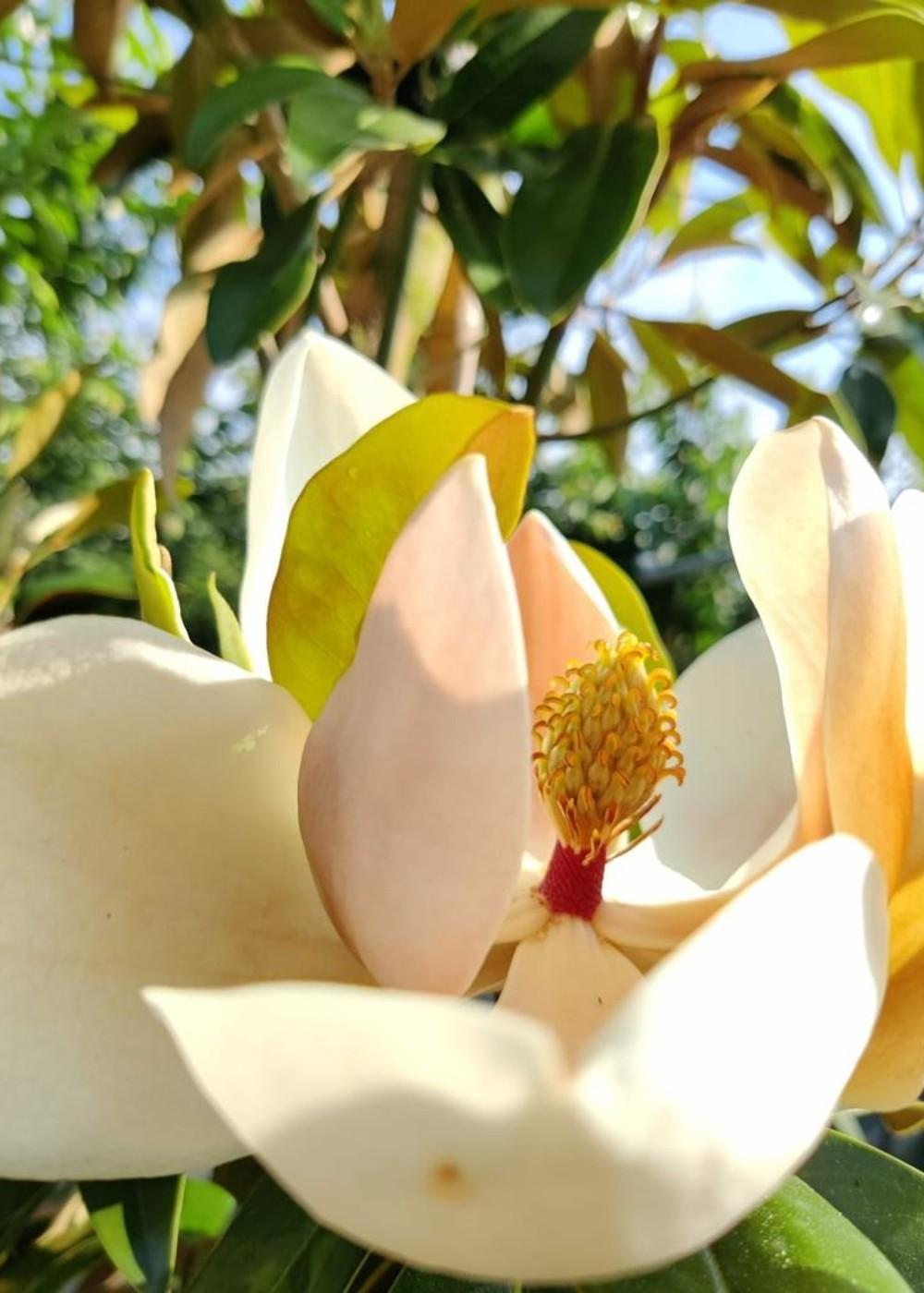 Großblättrige Magnolie   Magnolia grandiflora