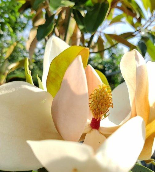 Großblättrige Magnolie | Magnolia grandiflora