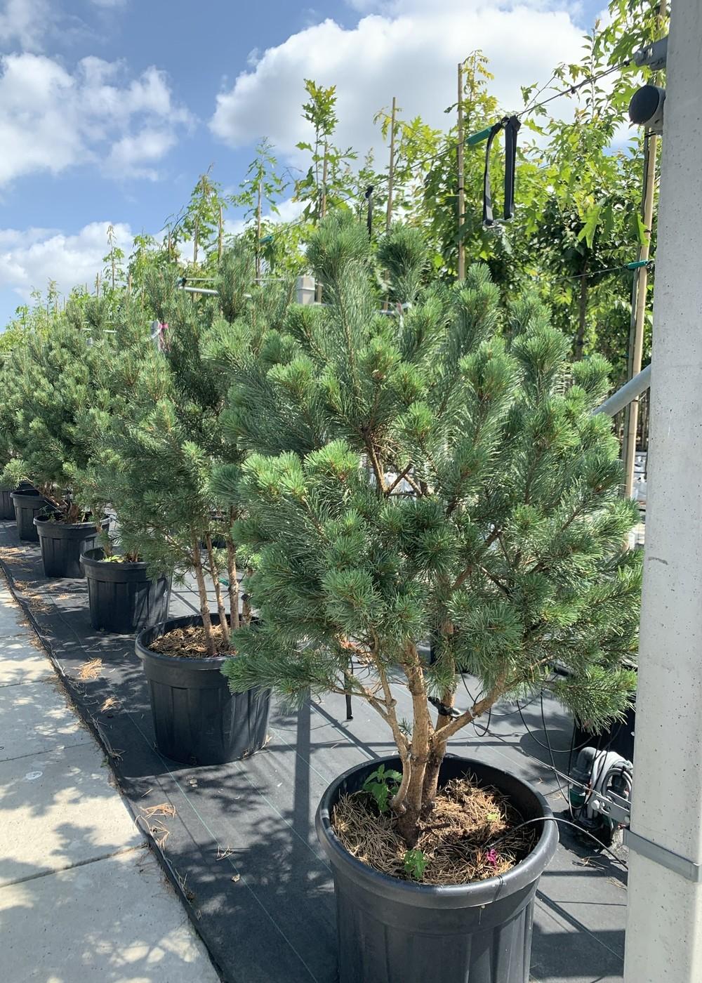 Silberkiefer   Pinus sylvestris 'Watereri'
