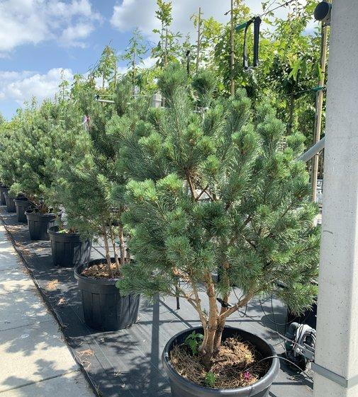 Silberkiefer | Pinus sylvestris 'Watereri'
