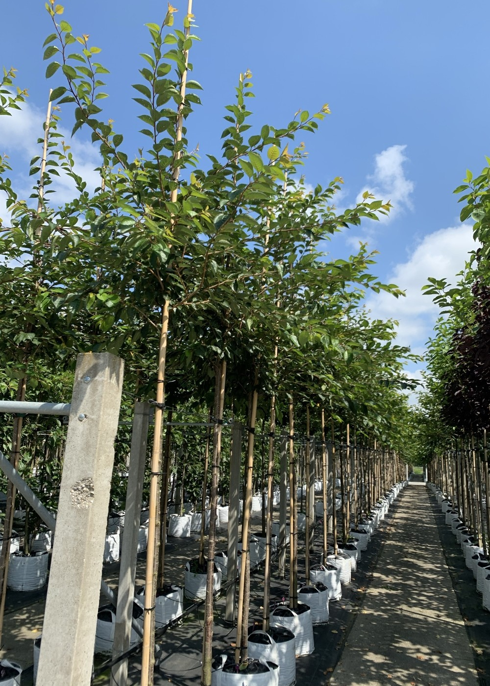 Zierkirsche Accolade | Prunus 'Accolade'