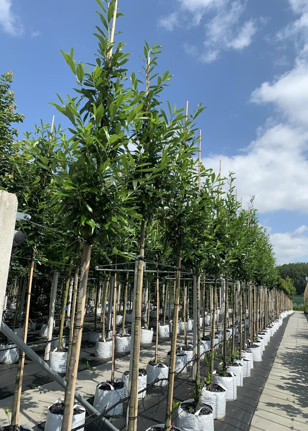Kaukasischer Kirschlorbeer   Prunus laurocerasus 'Caucasica'