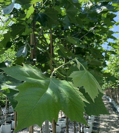 Ahornblättrige Platane | Platanus acerifolia | hispanica