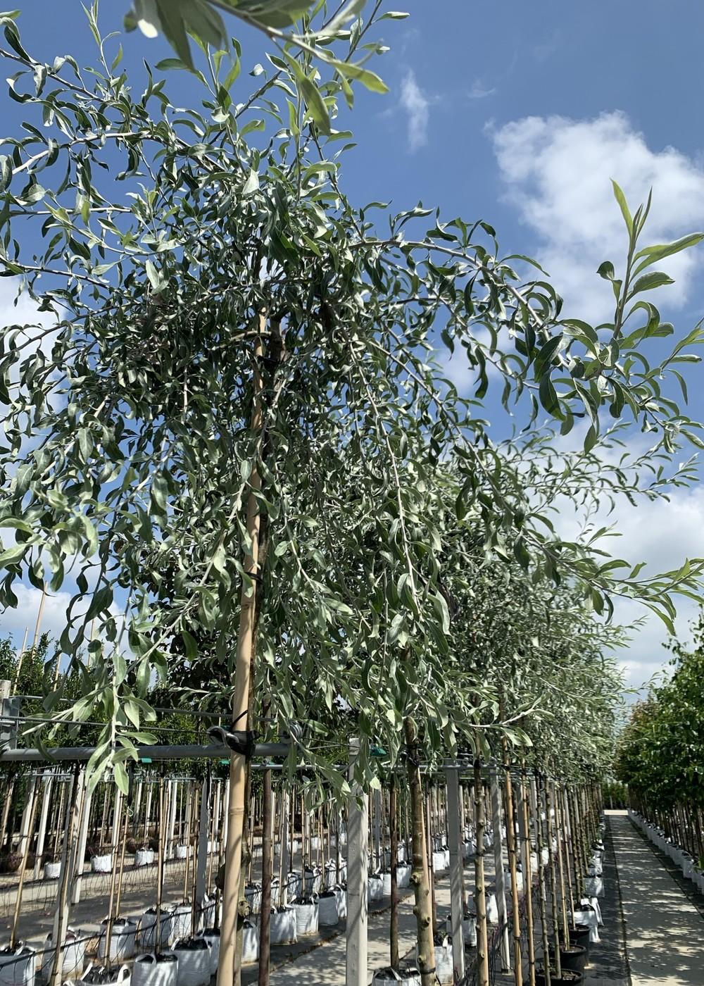 Hängende Wildbirne | Pyrus salicifolia 'Pendula'
