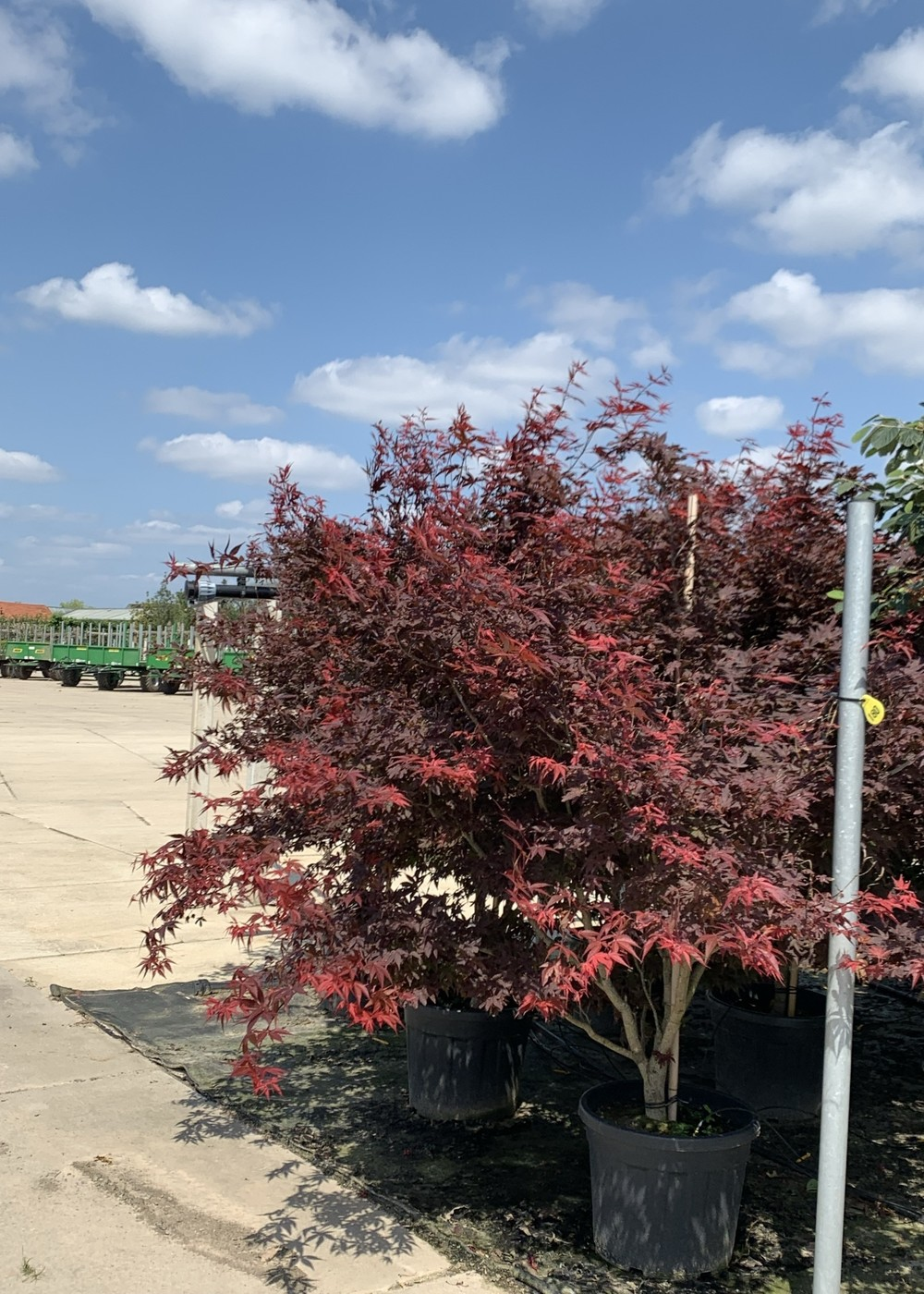 Roter Fächer-Ahorn Atropurpureum | Acer palmatum 'Atropurpureum'
