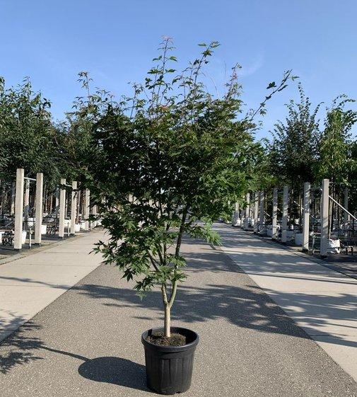Grüner Fächerahorn Osakazuki | Acer palmatum 'Osakazuki'