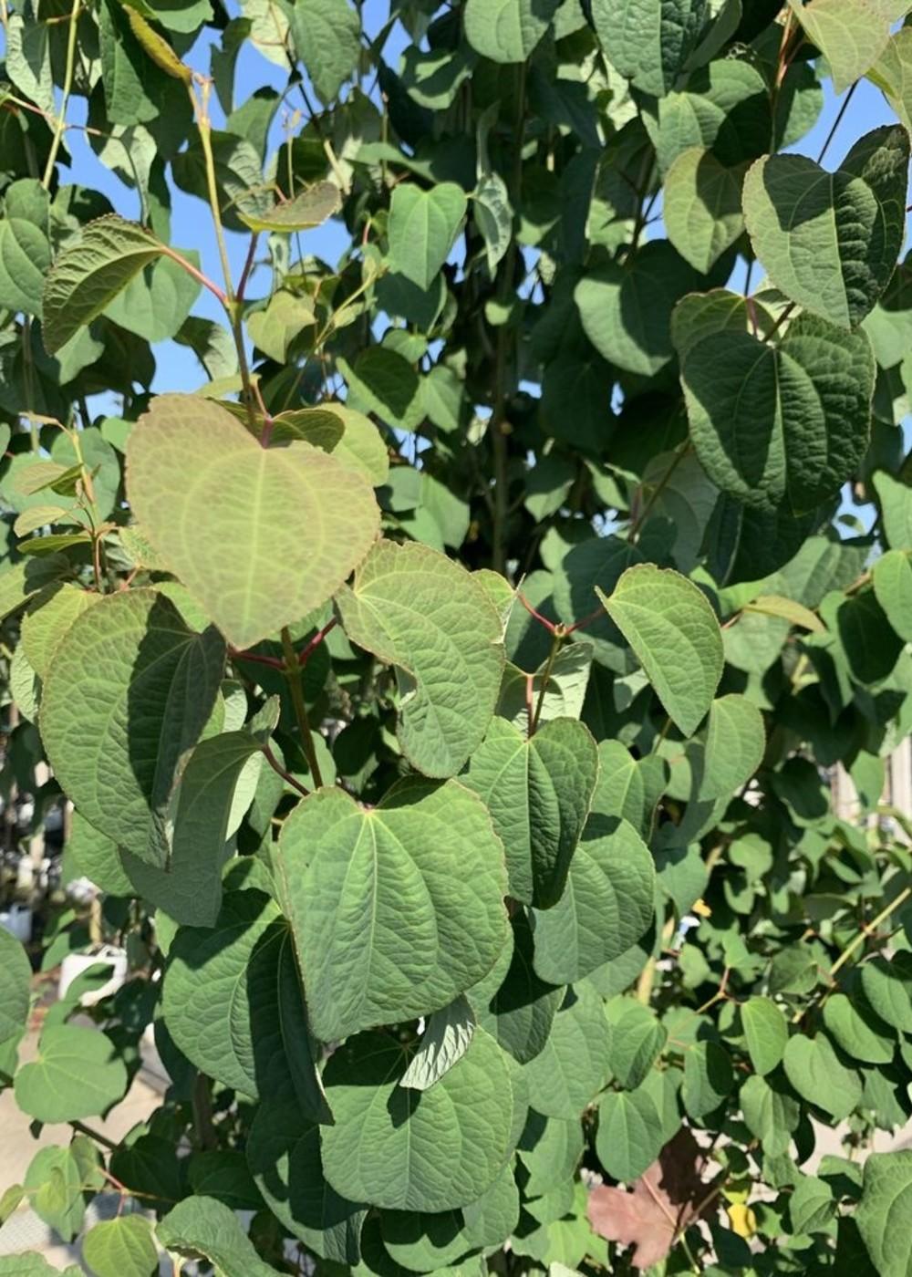 Judasblatt Lebkuchenbaum Mehrstämmig | Cercidiphyllum japonicum Mehrstämmig