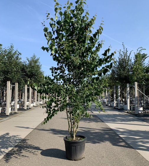 Judasblatt | Lebkuchenbaum Mehrstämmig | Cercidiphyllum japonicum Mehrstämmig