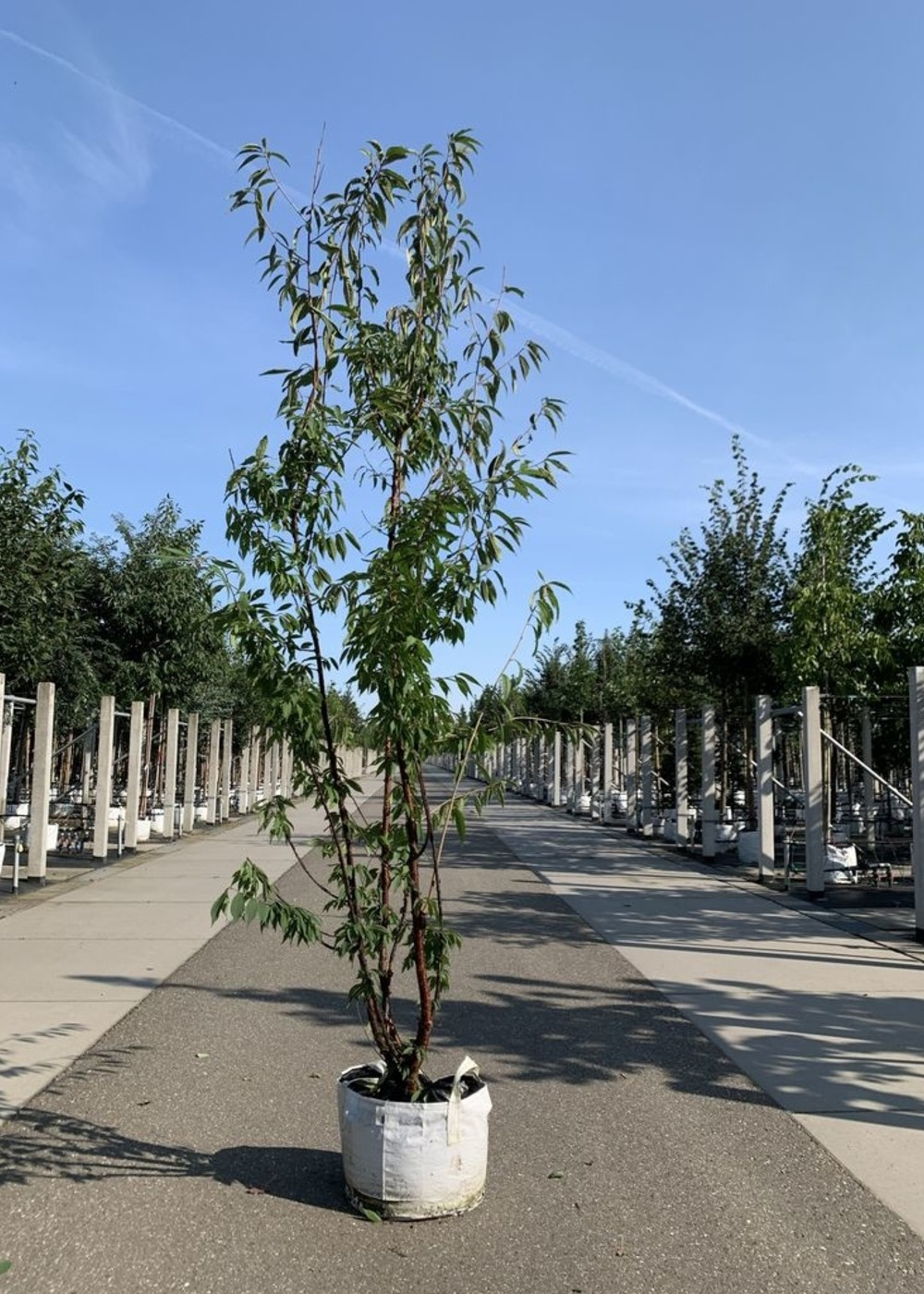 Mahagoni-Kirsche Mehrstämmig | Prunus serrula Mehrstämmig