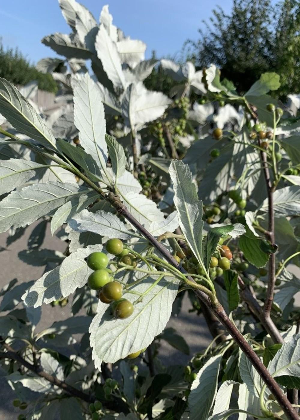 Großlaubige Mehlbeere | Sorbus aria 'Magnifica'