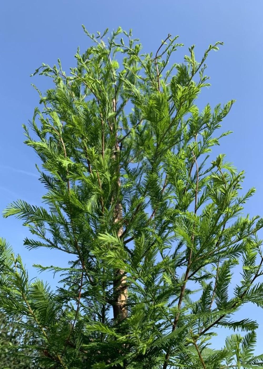 Sumpfzypresse | Taxodium distichum