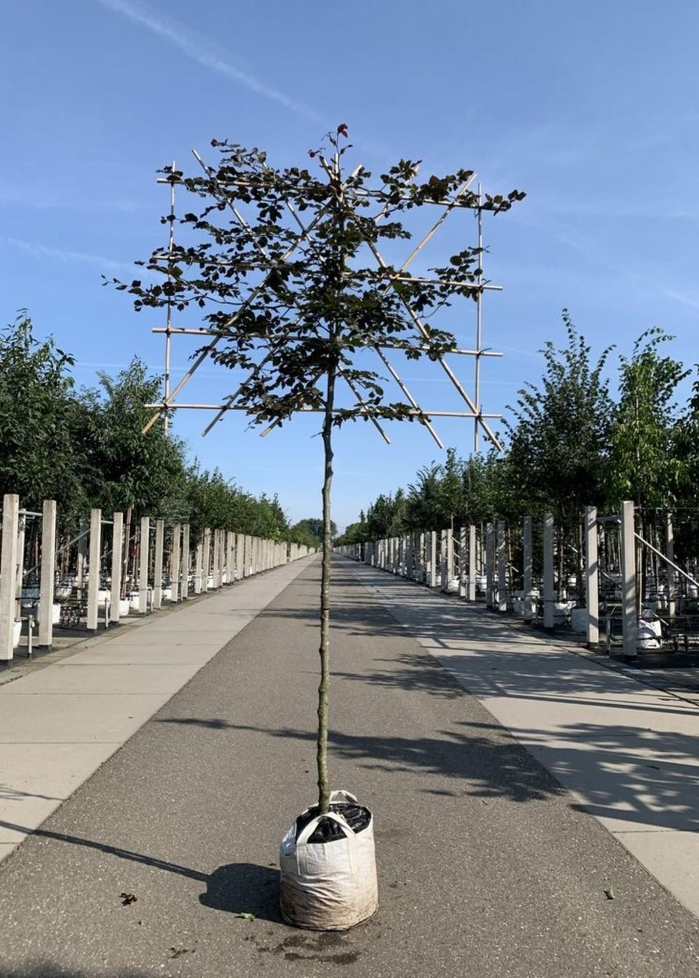 Blutbuche Spalierbaum   Fagus sylvatica 'Purpurea' Spalierbaum