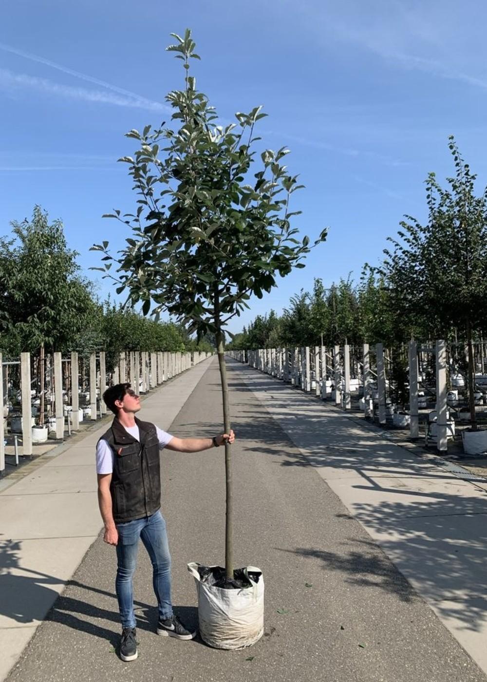 Breitblättrige Mehlbeere Henk Vink   Sorbus latifolia 'Henk Vink'