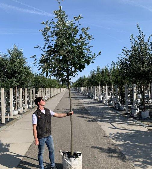 Breitblättrige Mehlbeere Henk Vink | Sorbus latifolia 'Henk Vink'