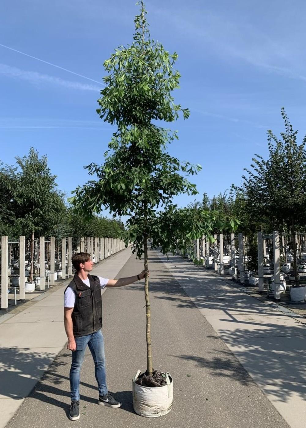 Fächerblattbaum Saratoga   Ginkgo biloba 'Saratoga'