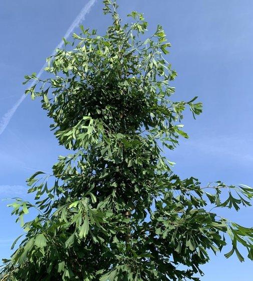 Fächerblattbaum Saratoga | Ginkgo biloba 'Saratoga'