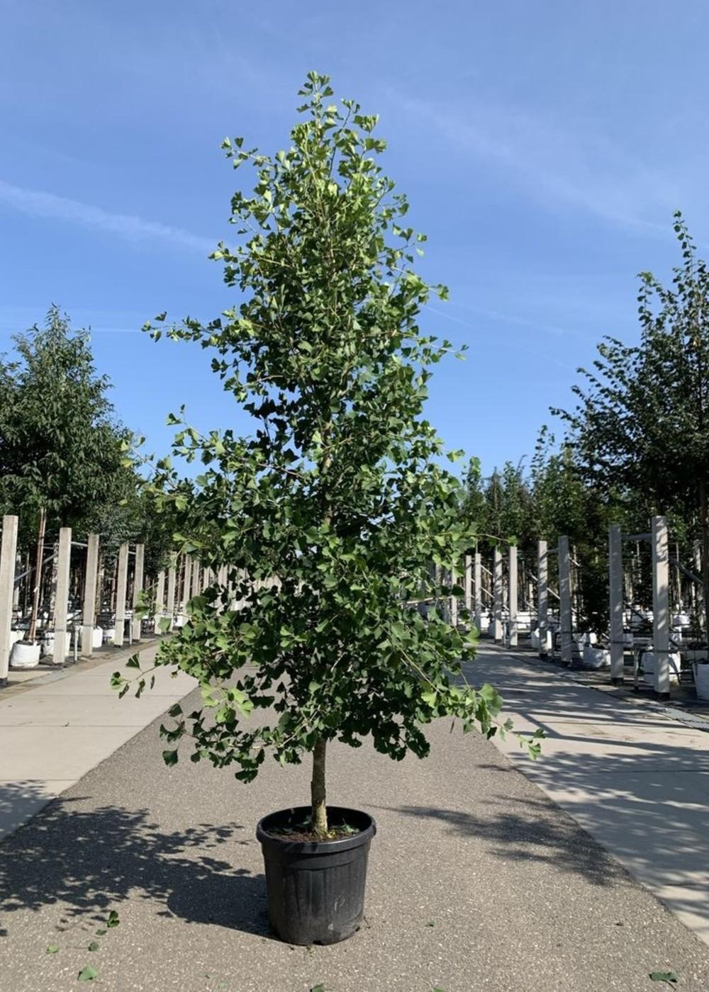 Fächerblattbaum Tit   Ginkgo biloba 'Tit'