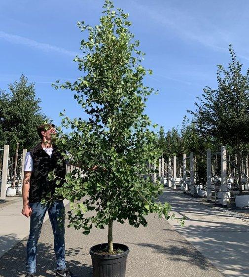 Fächerblattbaum Tit | Ginkgo biloba 'Tit'