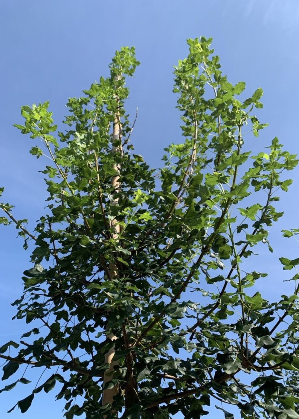 Französischer Ahorn Acer monspessulanum