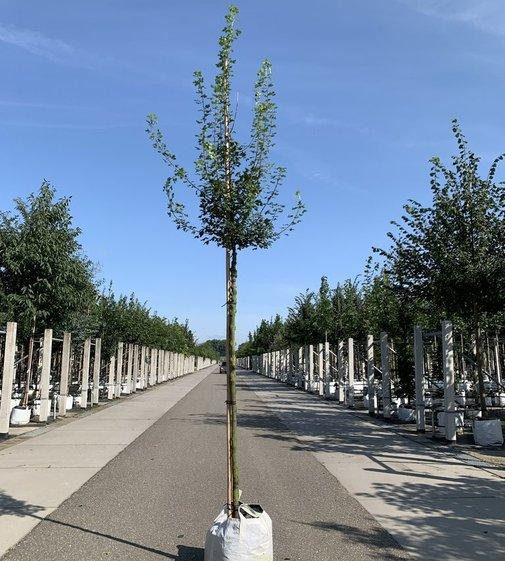 Französischer Ahorn | Acer monspessulanum