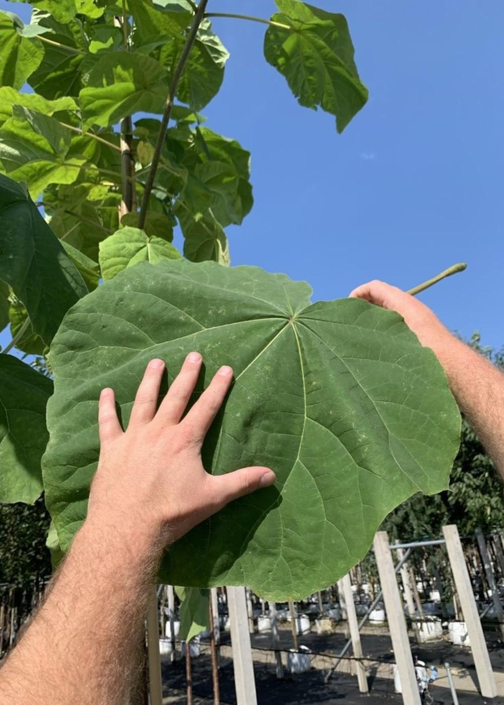 Blauglockenbaum | Paulownia tomentosa