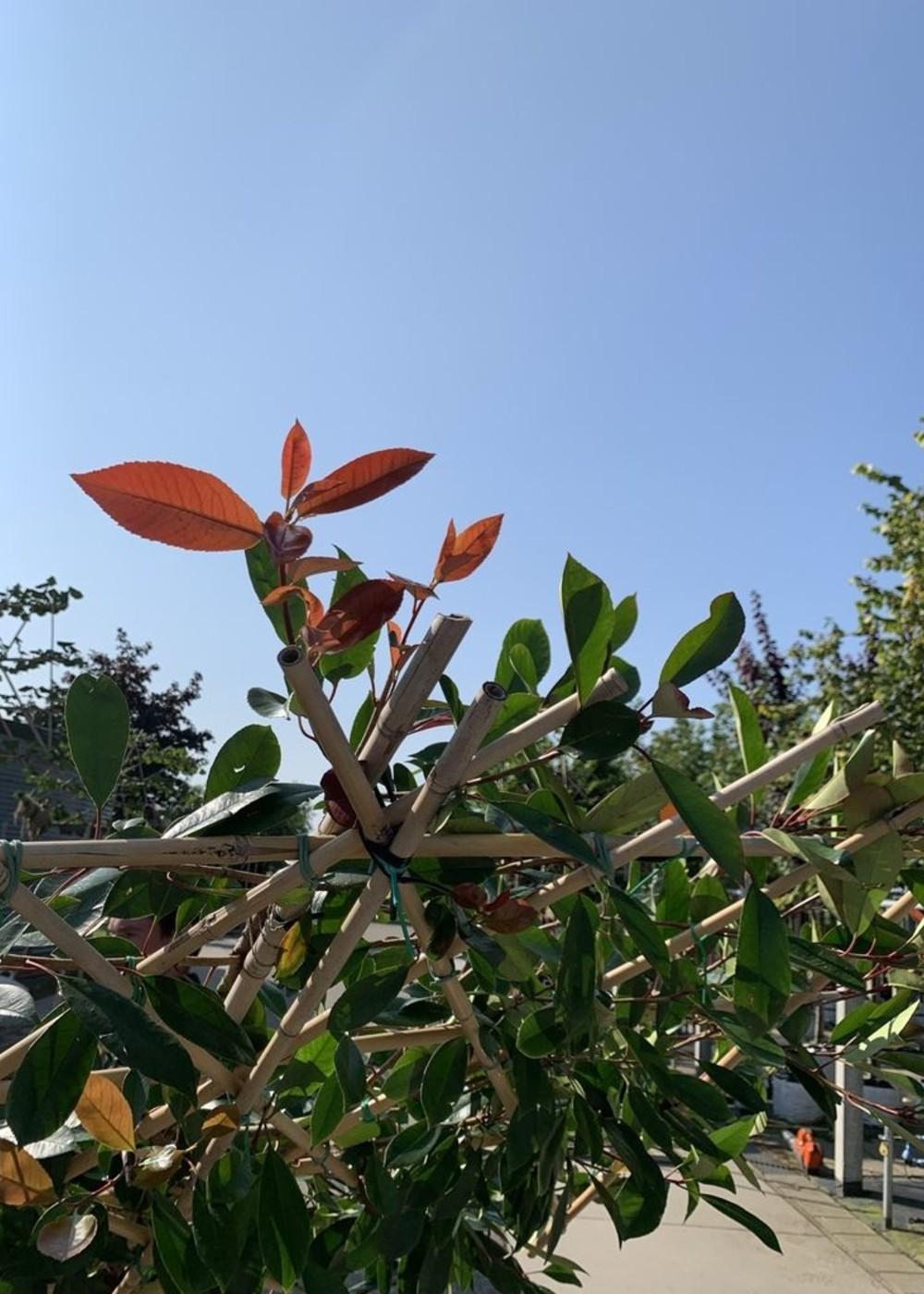 Glanzmispel Spalierbaum   Photinia fraseri 'Red Robin' Spalierbaum
