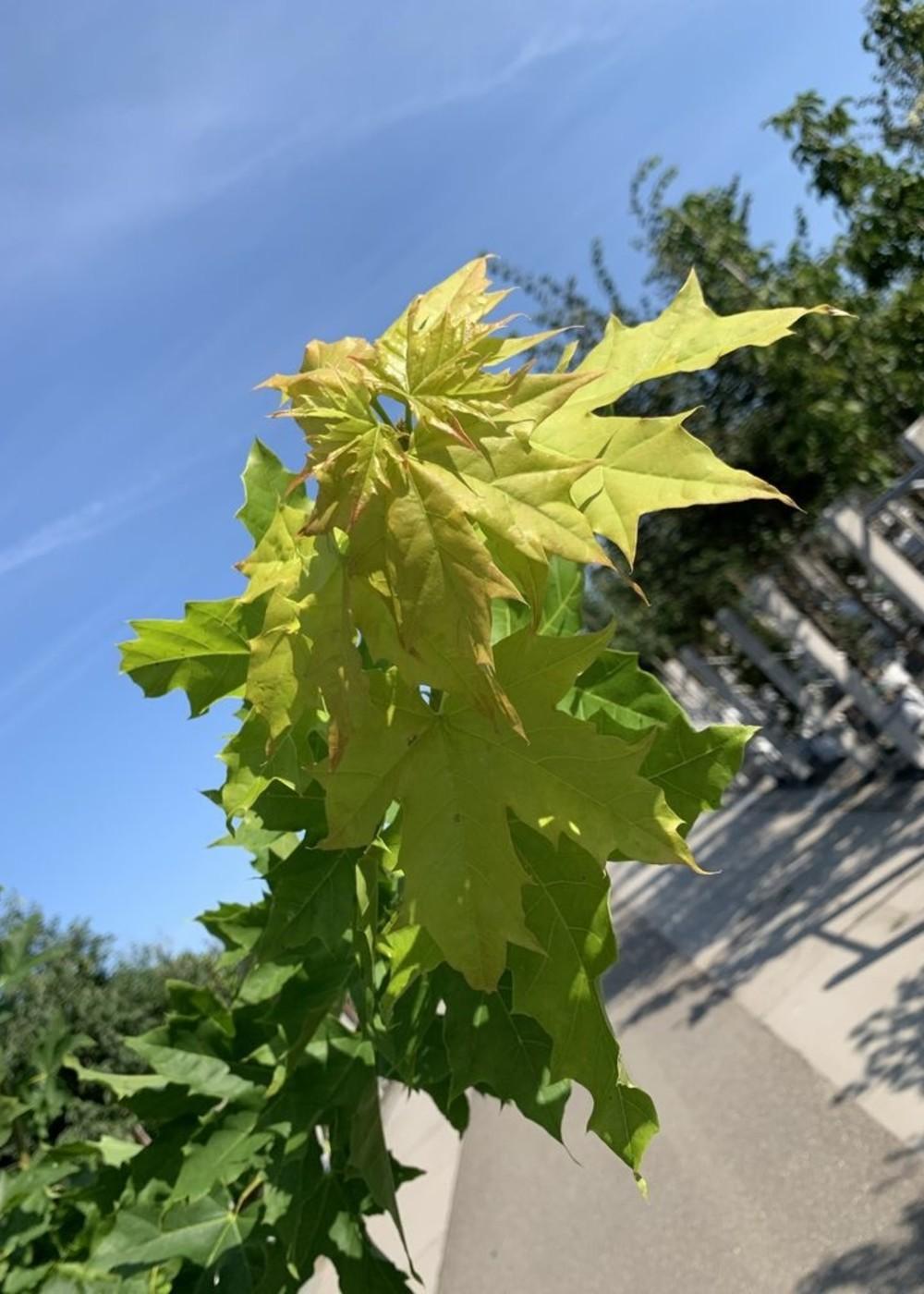 Goldahorn | Acer platanoides 'Princeton Gold'