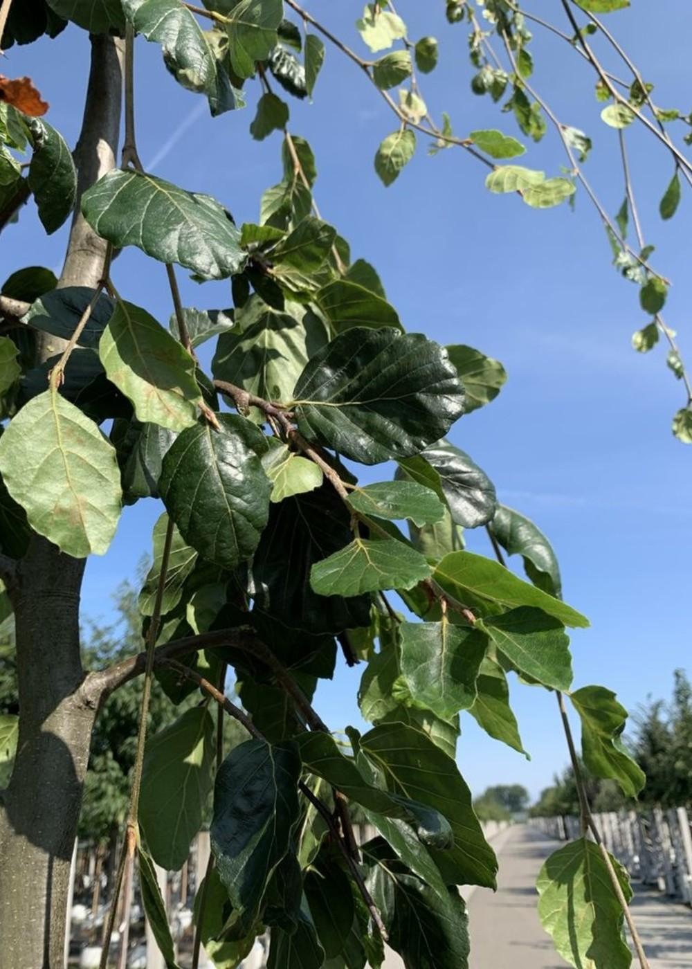 Grüne Hängebuche | Fagus sylvatica 'Pendula'