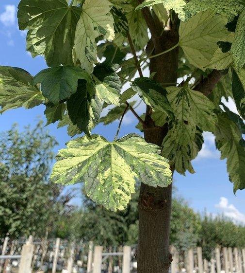Bergahorn Leopoldii | Acer pseudoplatanus 'Leopoldii'