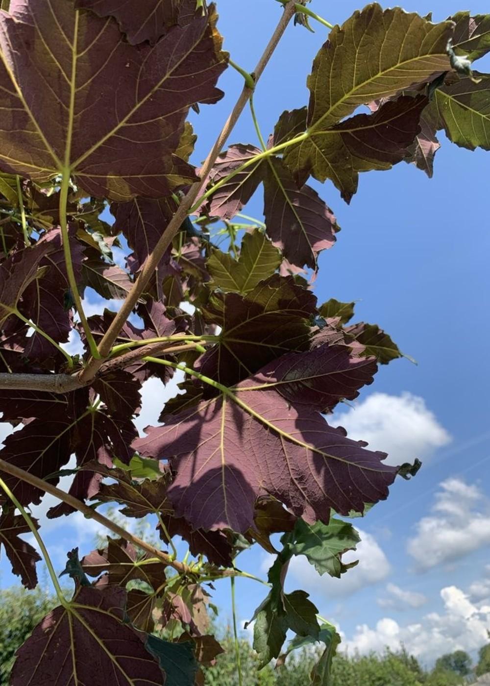 Bergahorn Spaethii | Acer pseudoplatanus 'Spaethii'
