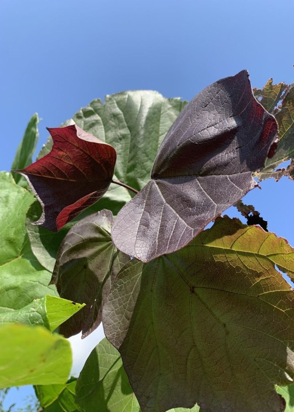 Blut-Trompetenbaum   Catalpa erubescens Purpurea