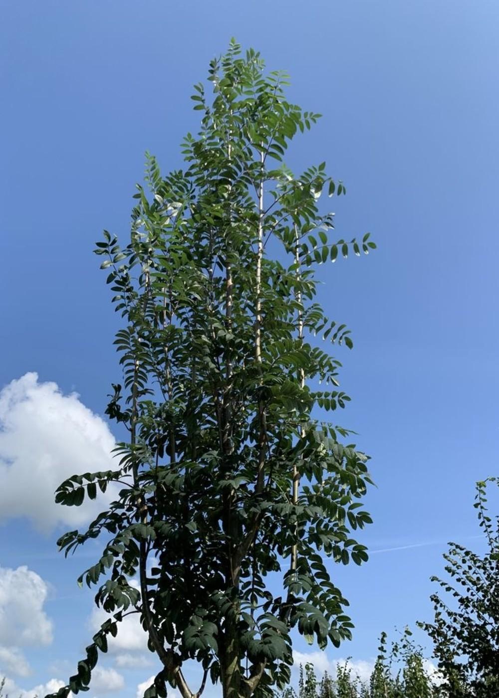 Essbare Eberesche | Sorbus aucuparia 'Edulis'