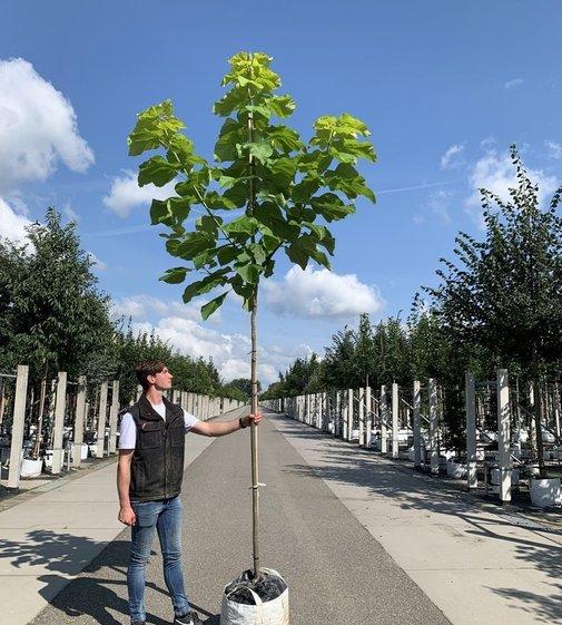 Golden Trompetenbaum | Catalpa bignonioides 'Aurea'
