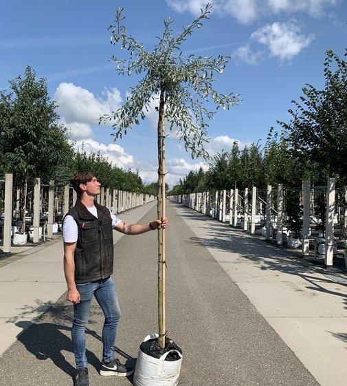 Weidenblättrige Birne Oben veredelt| Hängende Wildbirne | Pyrus salicifolia 'Pendula' Oben veredelt