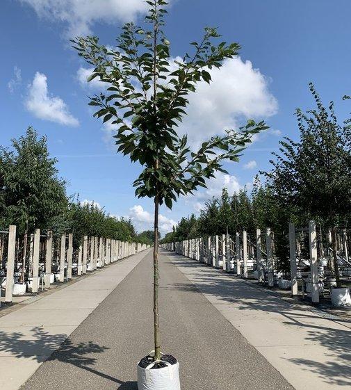 Zierkirsche Shirofugen | Prunus serrulata 'Shirofugen'